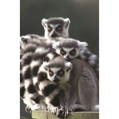 18 Ring Tailed Lemurs small
