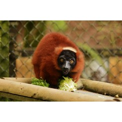 Red Ruff Lemur