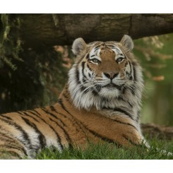 Marwell Zoo - Amur Tiger Relax original copy