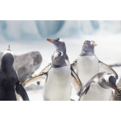 Gentoo penguins at The National Sea Life Centre Birmingham 3
