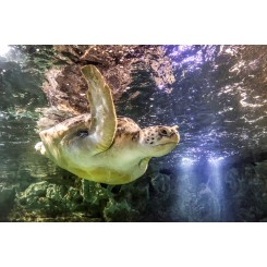 Giant Green Sea Turtle 2